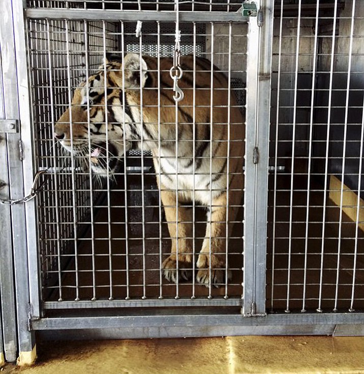 Arkansas Game and Fish Commission officials are investigating the discovery of multiple big cats at a barn near Weiner, Ark. on Saturday, Sept. 9. Authorities suspect the animals were going to shipped to Germany. (Arkansas Game and Fish Commission via AP)