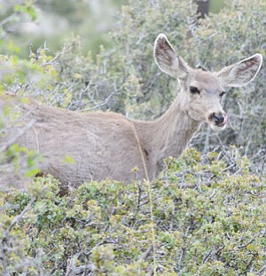 A mule deer was poached near the Rancho Santa Fe subdivision in Kingman earlier in the month, according to Arizona Game and Fish Department.