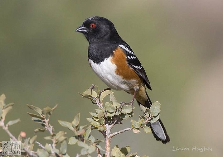 A male spotted towhee sits on top of a live scrub oak tree, a favorite shrub that towhees use for shelter and protection. (Eric Moore/Courtesy)