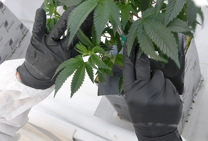 A medical marijuana plant at Sun King Labs marijuana grow house in Chino Valley in November 2015. (Courier file photo)