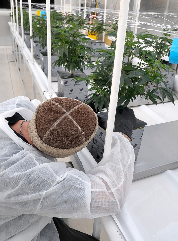 An employee at Sun King Labs marijuana grow house trims a medical marijuana plant in Chino Valley in November 2015. (Courier file photo)