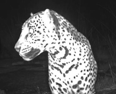 A new video was released Thursday of a wild jaguar living in the Chiricahua Mountains of southern Arizona. See the video below.