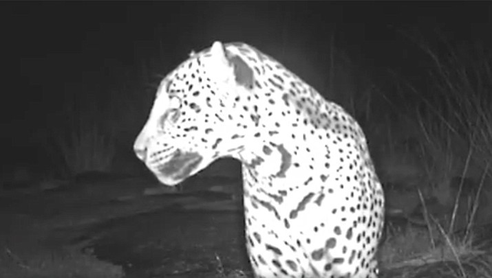 A new video was released Thursday of a wild jaguar living in the Chiricahua Mountains of southern Arizona. (Center for Biological Diversity)