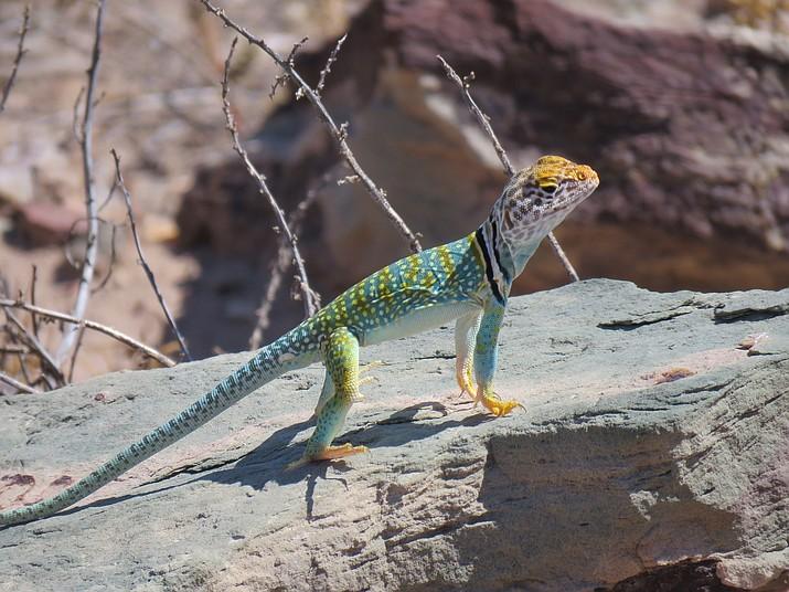 Collared lizard at Homolovi State Park.