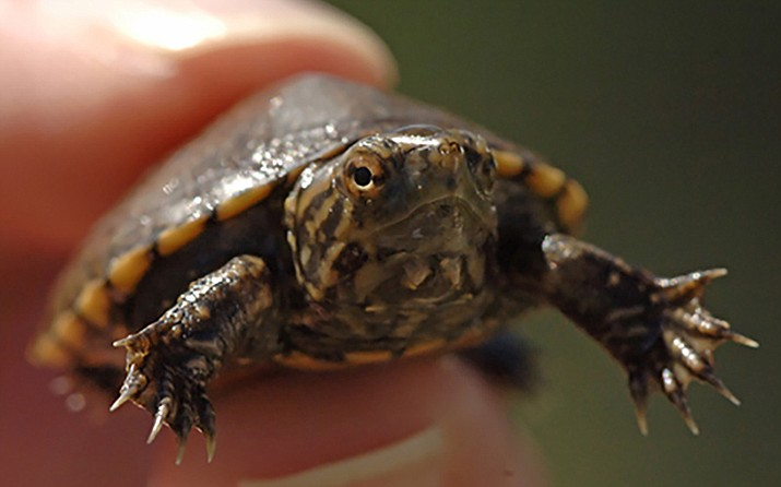 The Sonoyta mud turtle is an aquatic species that lives in the Sonoran Desert, a difficult enough existence that experts say is being made harder by climate change. The federal government granted the turtle endangered species status Wednesday. (Photo by George Andrejko/Arizona Game and Fish Department)