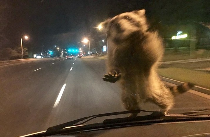Officer Chris Frabbiele was responding to an accident scene Wednesday in a van used by police to investigate crashes when a raccoon landed on it late Wednesday night. Police spokesman Lt. Howard Black says the raccoon hopped off the van after Frabbiele stopped it. (Colorado Springs Police Department via AP)