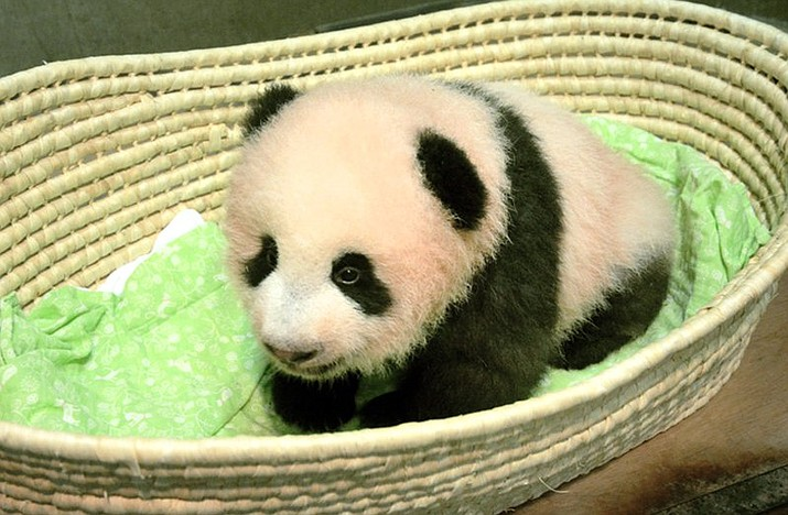 The female giant panda cub born at Ueno Zoo in Tokyo now has a name: Xiang Xiang in Chinese, or Shan Shan in Japanese, announced on Monday, Sept. 25, 2017. The name, whose Chinese characters mean fragrance, is chosen from more than 320,000 candidates from the public and was also approved by the Chinese authorities. (Tokyo Zoological Park Society via AP)