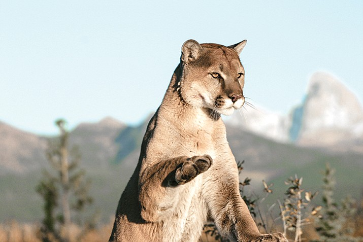 The Humane Society of the United States is collecting signatures in Arizona to ban hunting mountain lions and bobcats. (Stock)