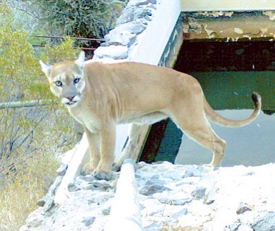 A group behind a proposal to outlaw the practice of trophy hunting for mountain lions is gather signatures for the 2018 state ballot.