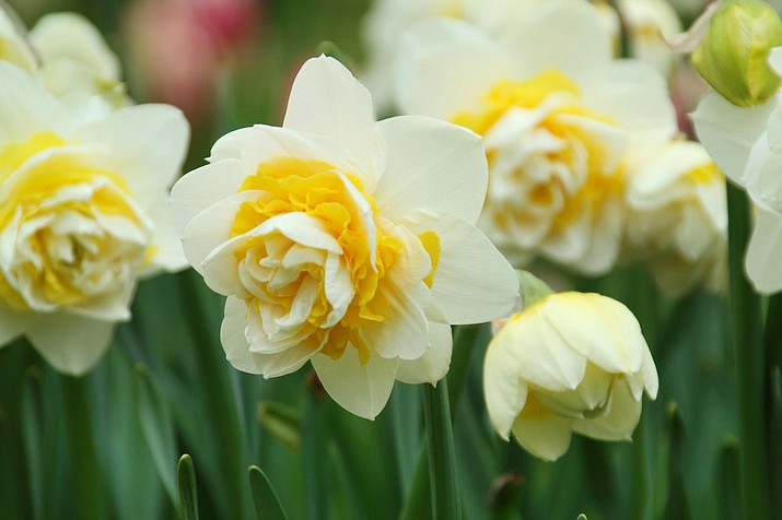 Unique daffodil varieties like Lingerie offer double flowering. (Longfield-Gardens.com)