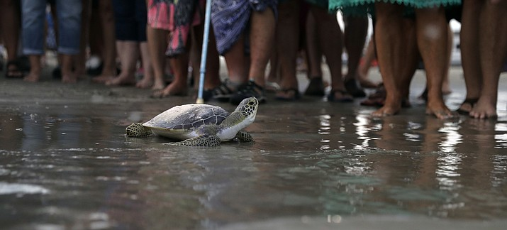 A sea turtle named Picasso carries the ashes of Tony Amos, 80, a renowned oceanographer, on it's back as it is released back into the Gulf of Mexico following a memorial service, Saturday, Sept. 30, 2017, in Port Aransas, Texas. (AP Photo/Eric Gay)