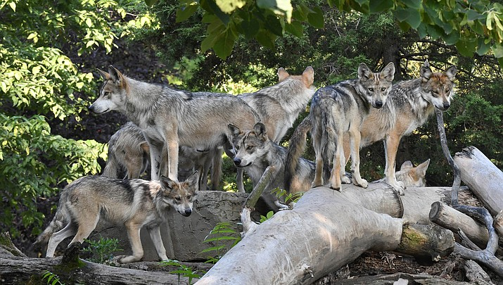 Forest Service revokes grazing permit for wolf killing