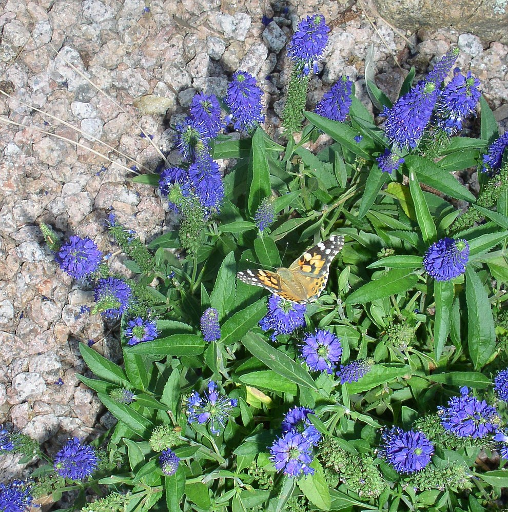 A Painted Lady butterfly (Alta Vista Garden Club/Courtesy)