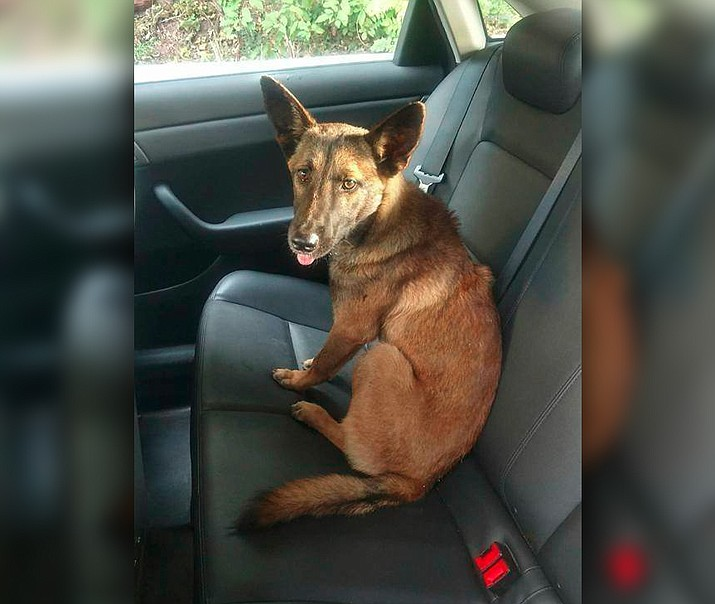 In this Oct. 5, 2017 photo, a German Shepherd is seen after it was rescued by the New Jersey State Police on a highway in Newark. Police said they had to coax the dog to leave a dead pit bull that it was found lying next to. (New Jersey State Police via AP)