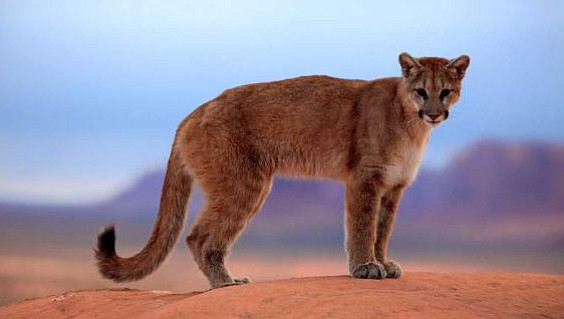 A mountain lion in Arizona.