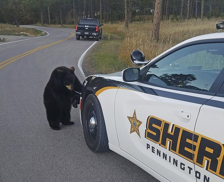 One of two bear cubs that escaped from a South Dakota wildlife park investigates Deputy Kylie Kintigh's patrol car in Rapid City, S.D. A man spotted the cubs lollygagging in his neighbor's yard about a block away from the Bear Country USA park. When Deputy Kintigh arrived, the bears seemed more interested in following her around than making a getaway. Park workers eventually arrived to return them to the park. (Kylie Kintigh/Pennington County Sheriff's Office via AP)