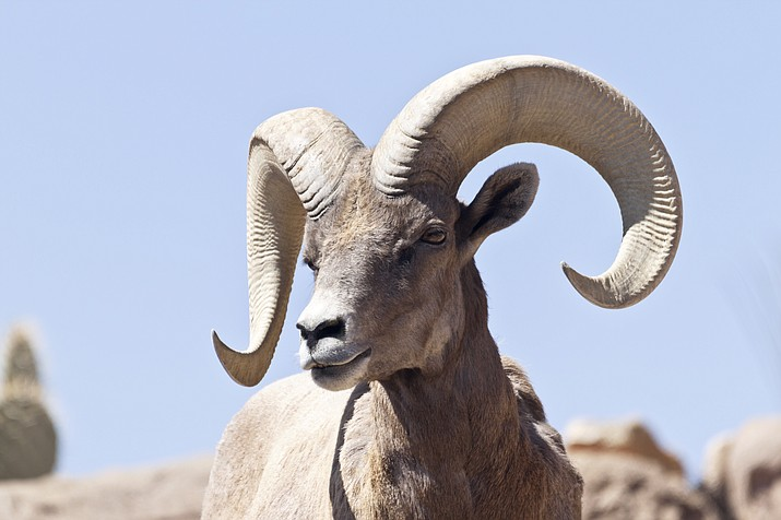 Thirty bighorn sheep were released in the Santa Catalina Mountains near Tucson in 2013, and more were brought in each of the next three years. The sheep struggled at first, with mountain lions and disease leading to a number of deaths. The animals now appear to be thriving, according to Arizona Game and Fish Department officials. (Arizona file photo)