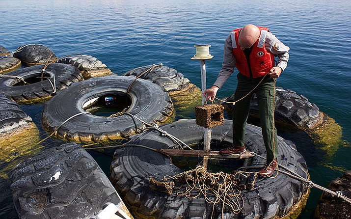 Mark Anderson pulls a quagga mussel monitoring device from dozens of feet below the surface of Lake Powell.