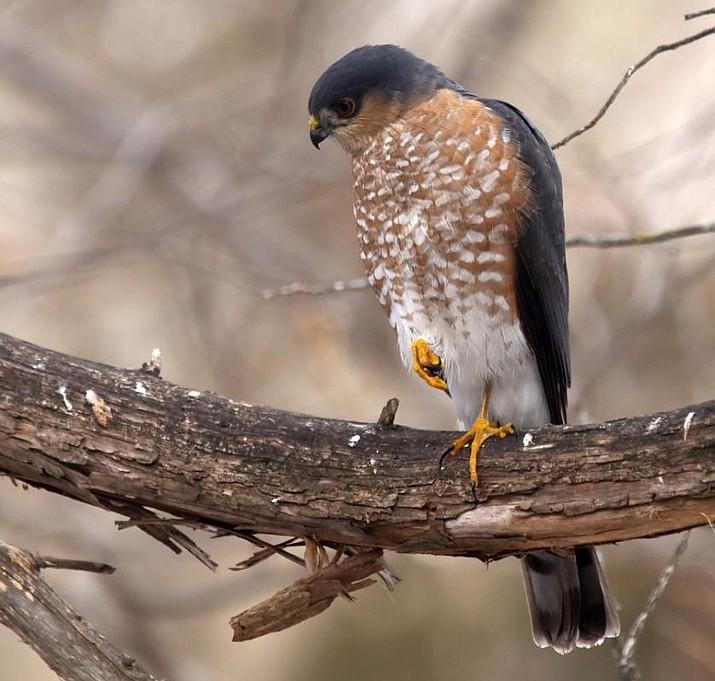 A sharp-shinned hawk. (Eric Moore/Courtesy)