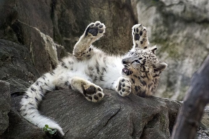 "A female snow leopard cub plays at the Bronx Zoo in New York. The zoo announced Thursday, Oct. 26, that the snow leopard cub, sometimes called a ""ghost cat,"" has made its public debut just in time for Halloween. (Julie Larsen Maher/Wildlife Conservation Society via AP)"
