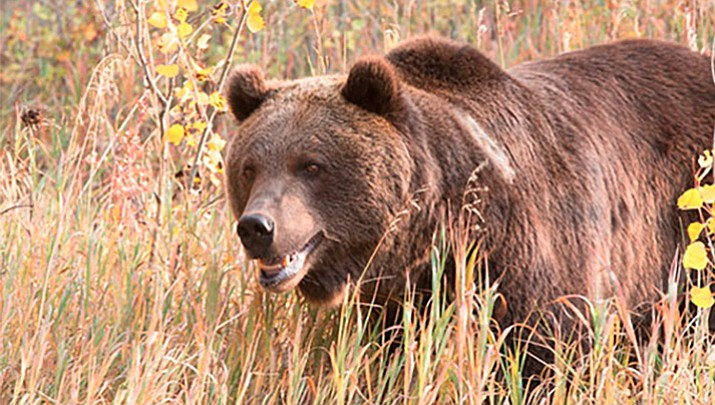 Fat grizzly killed for preying on calves to be displayed for Mt fish wildlife and parks