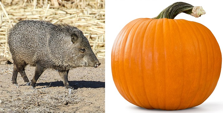 Pumpkins and other edible decorations are easy meals for wildlife and often attract javelina, coyotes, deer and even bears.