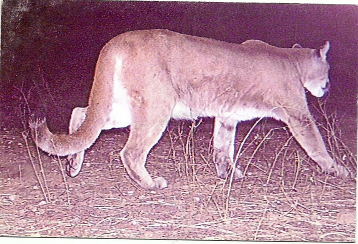 Debate surrounding mountain lion hunting continues. This photo was taken on the Kaibab.  (Photo special to the Daily Miner)