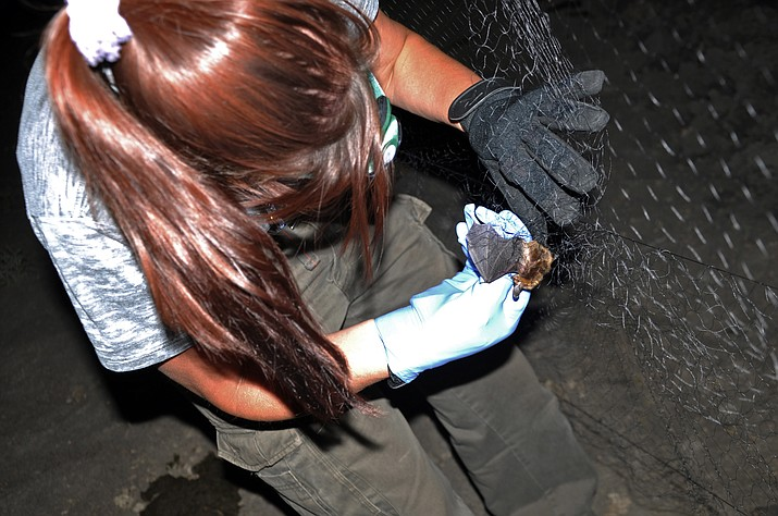 A Big Brown Bat is carefully removed from a net during a bat-counting survey on the Williams Ranger District in 2012.