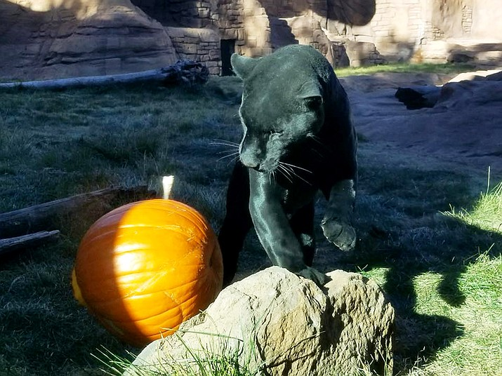 Mallie the jaguar enjoys playing with a carved pumpkin.