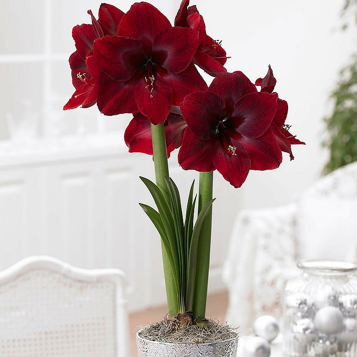 """""""Red Pearl,"""" a newer variety of amaryllis, has huge red velvety flowers that are deep crimson, overlaid with burgundy and maroon. (Longfield-Gardens.com)"""