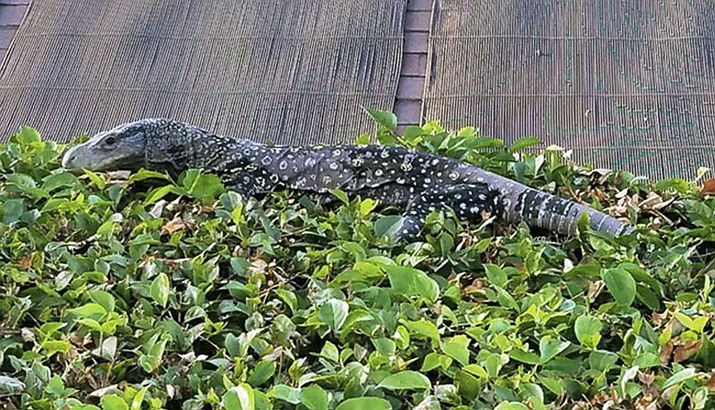 A four-foot-long crocodile monitor, a lizard that can grow to eight feet long, was discovered sunning itself on a hedge in the backyard of a Riverside, California home, thousands of miles from its native land. (J. Craig Williams via AP)