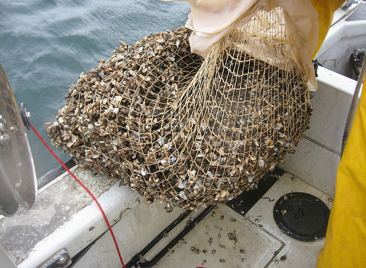 Quagga mussels collected in New York. Western governors are seeking help in combatting them.