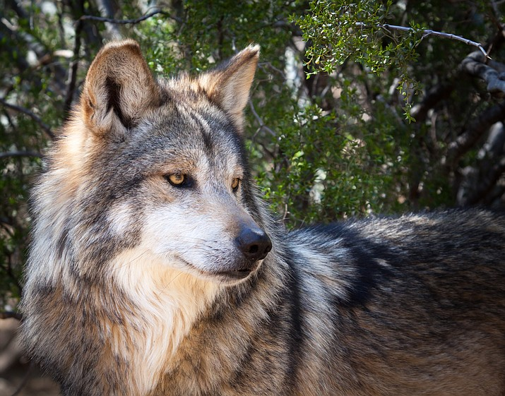 According to Director Emily Renn, GCWRP works to build an educated and supportive community to welcome the return of wolves to their historic home range.