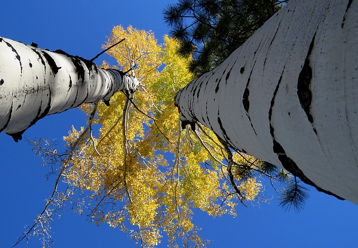 Fall color on the aspens around Flagstaff. Melissa Bowersock