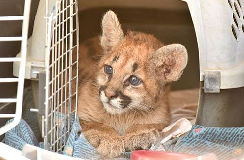 This 8-week-old mountain lion cub was left alone for two weeks before humans intervened.