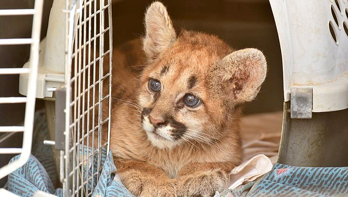 Mountain lion cub rescued by AZGFD
