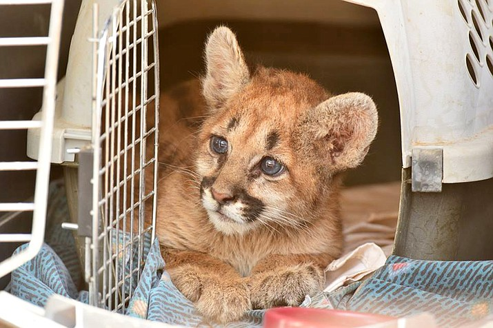 An eight-week mountain lion cub was rescued from the Cornville area last week by Arizona Game and Fish. The cub will remain with Game and Fish until a permanent home can be found.