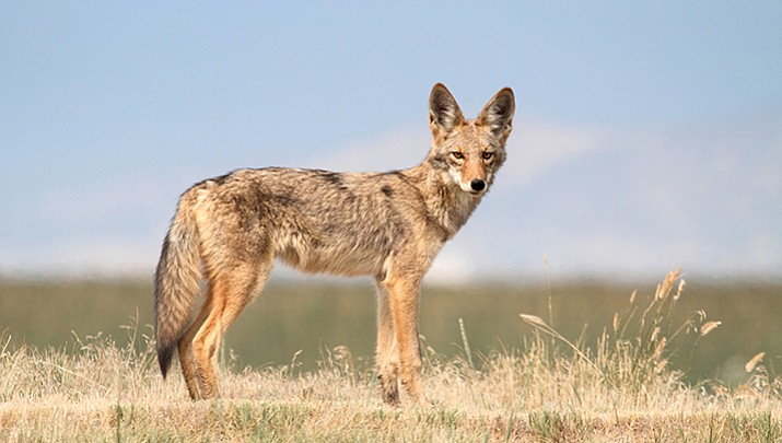 Tips for living with coyotes; rule No. 1 - Don't feed them