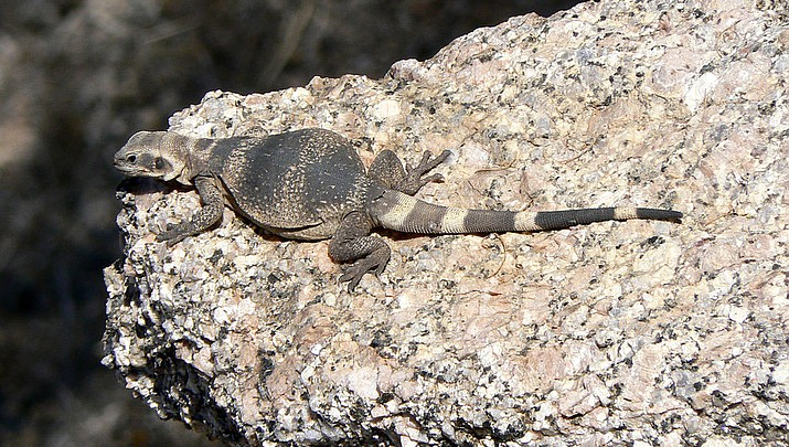 Community View | A Chuckwalla lizard? In Kingman?