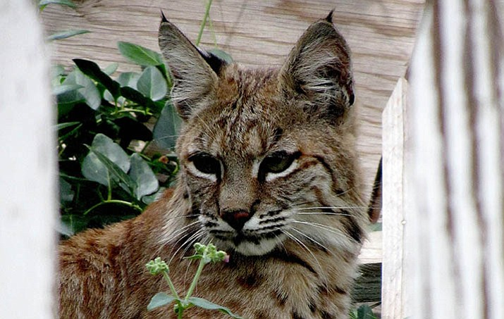 "Ann Somerville took this photo this summer when the bobcat went behind a neighbor's broken-down picket fence. ""It just sat there looking at me,"" Somerville said. (Courtesy)"