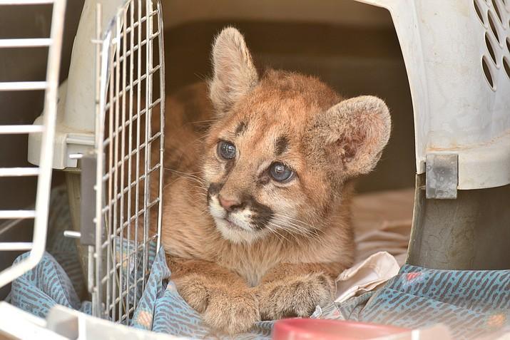 Azgfd Treats Orphaned Mountain Lion Cub The Daily