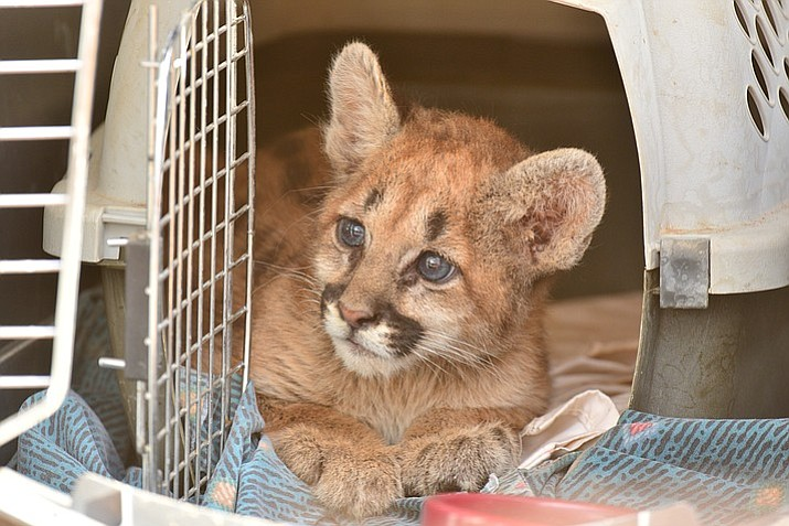 This is the mountain lion cub that was found a few weeks ago in Cornville. Now approximately eight-weeks-old, she is under the care of Arizona Game and Fish Department. (Photos courtesy of AZGFD)