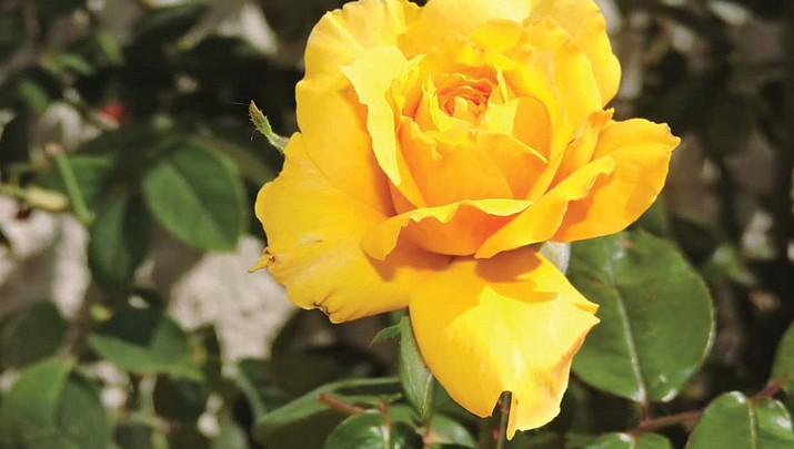 Kingman Photo | Yellow roses: A symbol of friendship
