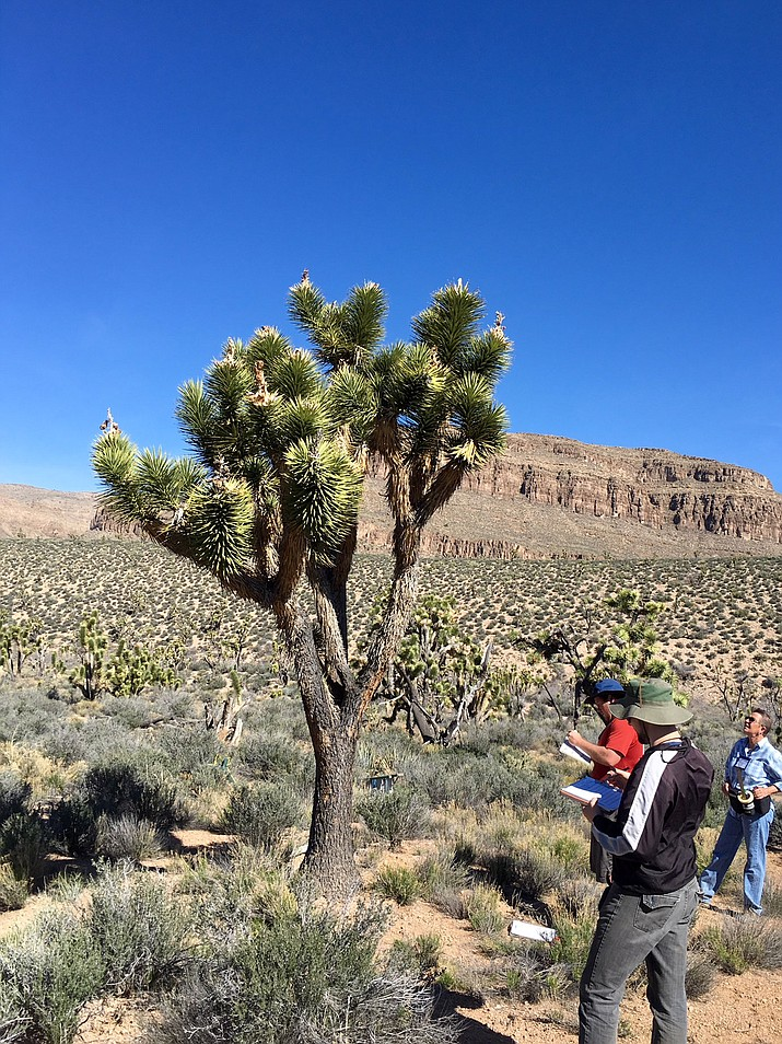 Outdoor enthusiasts observe and take note of a Joshua Tree in the Joshue Tree Forest.