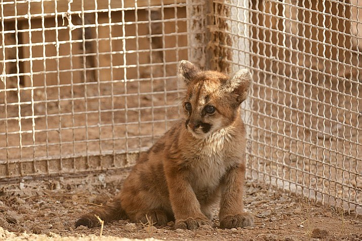 An orphaned mountain lion cub was picked up by AZGFD  near the Verde River.