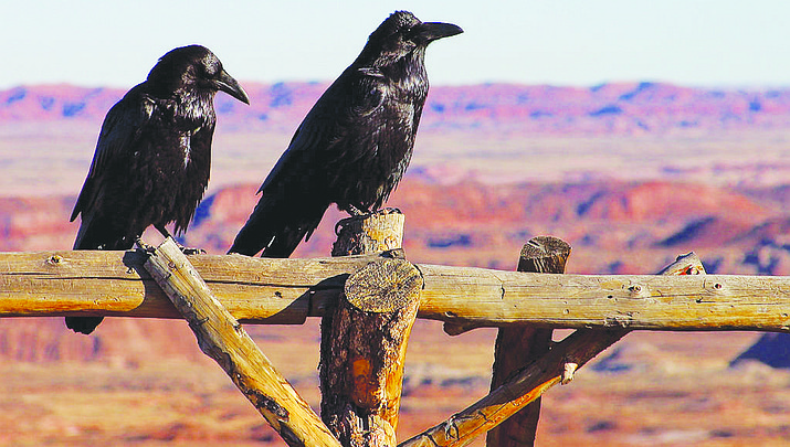 Annual Christmas bird count returns to Grand Canyon Dec. 17
