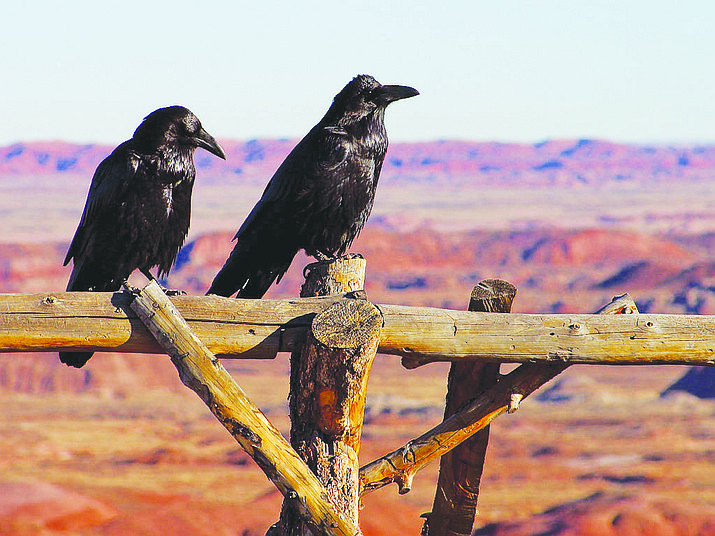 Ravens can be found in abundance during the annual winter bird count.