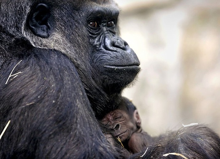 Kitani holds her newborn son, Mokonzi, at the Toledo Zoo in Toledo, Ohio. The infant western lowland gorilla is the first born at the zoo since 2003. (Kurt Steiss/The Blade via AP)