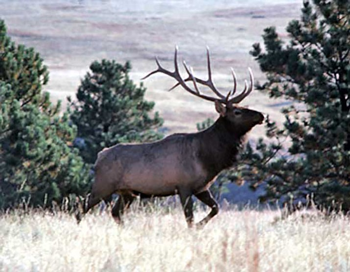 Bull elk (NPS photo)