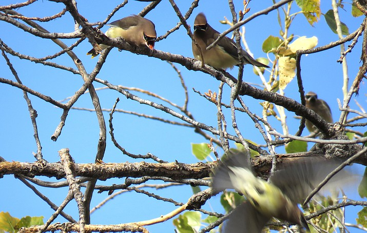 Cedar waxwings making their displeasure known. Photo by Melissa Bowersock